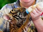 Ein Tierpfleger füttert ein Tigerbaby mit einer Milchflasche.