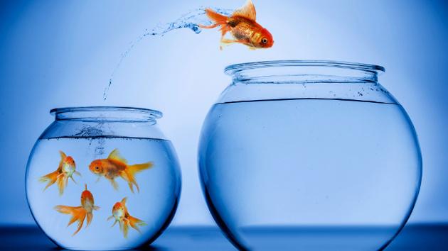 Ein Goldfisch springt aus einem kleinen runden Glas in ein größeres Glas, in dem keine Goldfische schwimmen.